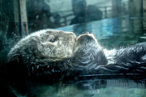 Vancouver Aquarium, Sea Otter