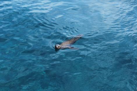 Seal at Anacapa Island, California