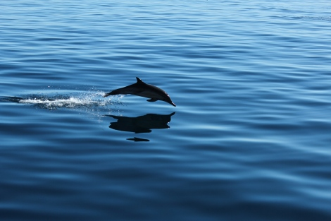 Dolphins, Channel Islands California