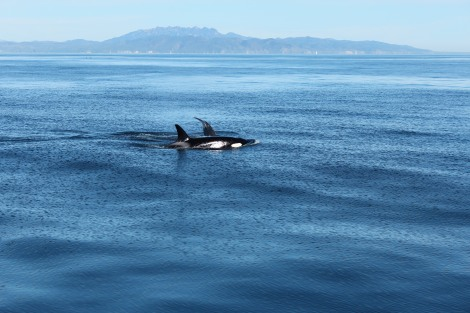 Orca Whales, Channel Islands California