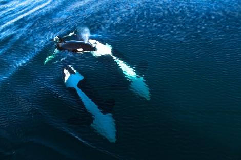 Orca Baby Taking A Breath Of Fresh Air, Channel Islands CA
