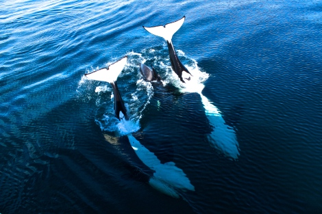 Orca Pod And Baby Orca Saying Hello, Channel Islands CA