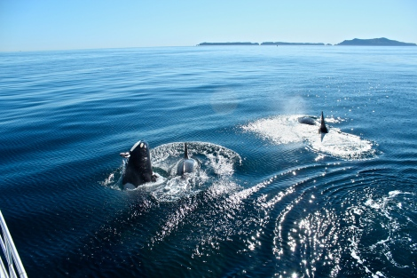 Orcas Swimming Near Channel Islands