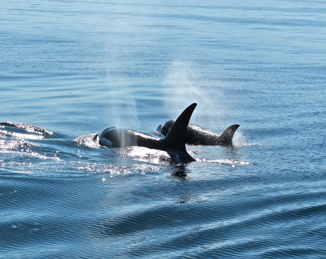 Orca (Killer Whales) Pod, Channel Islands California